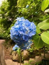 「明月院ブルー」に癒される - NamiのプライベートルームⅡ
