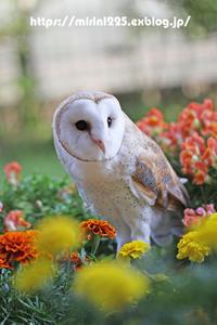 メンフクロウのミリンちゃん(ポポちゃん)~花壇の中で~ - メンフクロウと一緒~ミリン~