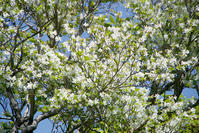 シロヤシオ、アズキナシ - オバサンが行く ヒマラヤの青いけしの旅/改め   時々蔵王の花たち