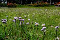 アズマギク - オバサンが行く ヒマラヤの青いけしの旅/改め   時々蔵王の花たち