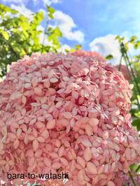 ピンクのアナベルの季節 - バラと私と時々、カルトナージュ