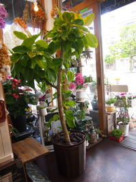 人気の観葉植物アルテシーマを配達しました。 - ルーシュの花仕事