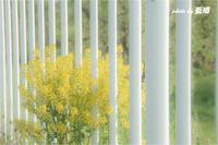 道端の「菜の花」 - 藍の郷