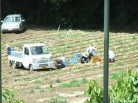 """玉ねぎの収穫&乾燥 - 〔家庭菜園日記〕 """"すろーらいふ"""" 茅ケ崎のはまちゃん. 野菜つくり"""