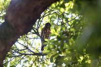 アオバズクが今年も来てくれました - 野の鳥  撮る録 in湘南