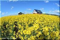 菜の花まつり 3 (滝川) - 北海道photo一撮り旅