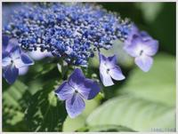 日比谷公園・晴天の紫陽花‐1   032) - 趣味の写真 ~オリンパスE-M1MarkⅡとE-M1、E-5とたまにフジフィルムXZ-1も使っています。~