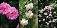 花菜ガーデン③香りの薔薇とクレマチス - Atelier Charmant のボタニカル・水彩画ライフ
