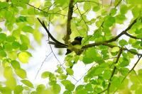 初夏の緑サンコウチョウアナグマ - 鳥さんと遊ぼう