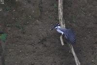 ヤマセミ 続きます - 野鳥公園