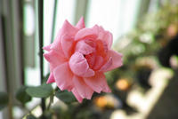 ベランダ通信-ピンク色のバラがやっと咲く- - 野だてnote