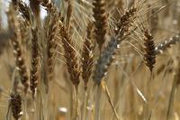 黄金の収穫時期を迎えました@足立都市農業公園 - 設計事務所 arkilab
