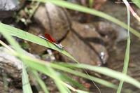 カワトンボとアオハダトンボ - 虫籠物語