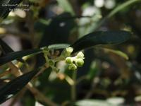 ¿Serán frutos del olivo? - Gardener*s Diary