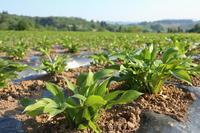 ウルイ苗を植え終わりました。 - ユリ 百合 ゆり 魚沼農場の日々