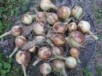 玉ねぎとニンニク収穫しました。 - 花の自由旋律