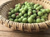 梅干し作り - sakurairo