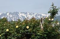 蔵王チーズ工場のバラ - 標高480mの窓からⅡ