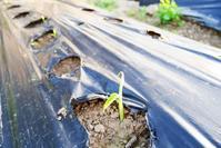 しょうがの芽はこっち - 畑であそぶ ~のんびり家庭菜園・畑しごと~
