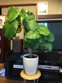 ウンベラータ - Mini Botanical Life