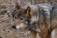 ふんばるかお 1タイリクオオカミ - 今日ものんびり動物園