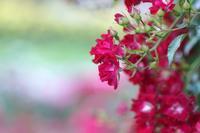 浜寺公園バラ・ライトアップ@2018-05-19 - (新)トラちゃん&ちー・明日葉 観察日記
