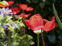 野のユリ、あるいは風のバラ * Lily of the field or Windröschen - ももさへづり*うた暦*Cent Chants d' une Chouette