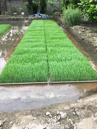 田植えの苗 - 岡山の米作り名人