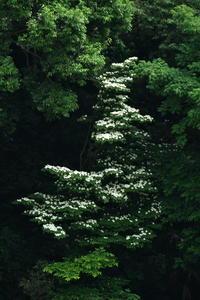 上級者コースヤマボウシ(山法師)他 - 身近な自然を撮る