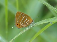 ウラミスジシジミ出会いと再会 - 蝶のいる風景blog