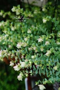 オレガノ ケントビューティーの収穫。 - Pastel green - Flower diary