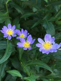 お庭のお花〜都忘れ - -
