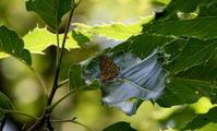 2018梅雨入り前 - 紀州里山の蝶たち