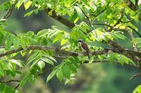 危惧1Aと希少種なチゴモズ - 武蔵野の野鳥