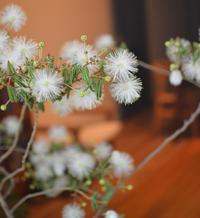 ネムノキ咲きました - kukka  kukka