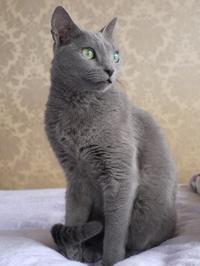 ロシアンブルーの日 - ちょっとネコばか