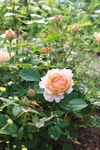 よじ登るネコとアンブリッジローズ - HOME SWEET HOME ペコリの庭 *