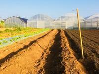 サツマイモの苗付け - 週末農夫コーディーのイケてる鍬の振るい方