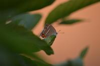 ミドリシジミ♀6月4日 - 超蝶