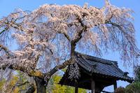 桜咲く京都2018 桜咲く地蔵禅院(井手町) - 花景色-K.W.C. PhotoBlog
