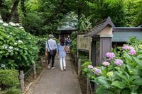 川崎のあじさい寺 - あだっちゃんの花鳥風月