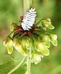 『果序 と 天道虫の幼虫』 - 自然感察 *nature feeling*