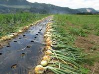 玉ねぎ収穫日和 - 南阿蘇 手づくり農園 菜の風