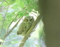 オオコノハズク3羽目の巣立ちの枝止まり - 私の鳥撮り散歩