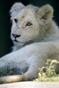 2018.6.2 東北サファリパーク☆ホワイトライオンのひふみたん【White lion baby】_01 - 青空に浮かぶ月を眺めながら