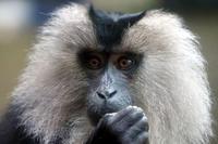 にぎやかなシシオザル - 動物園放浪記