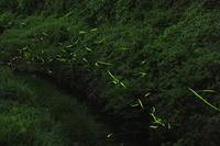 岡部の蛍 - やきつべふぉと