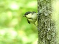 シジュウカラ幼鳥・コゲラ・・・八王子 - 浅川野鳥散歩