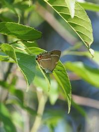 ミドリシジミ今年もやや遅し - 蝶超天国