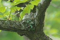コサメビタキ子育て Part2 - 近隣の野鳥を探して